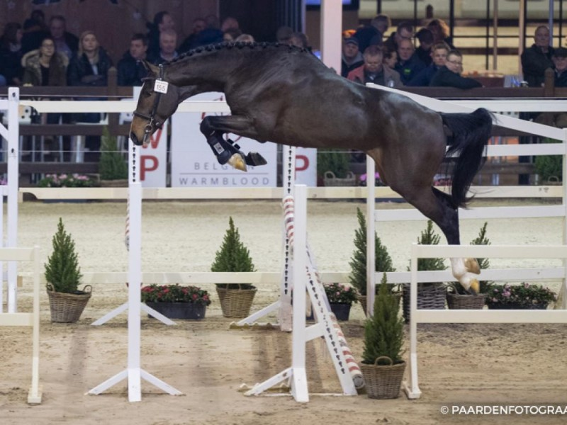 Caesar Optimus approved for third phase of the BWP stallion selection