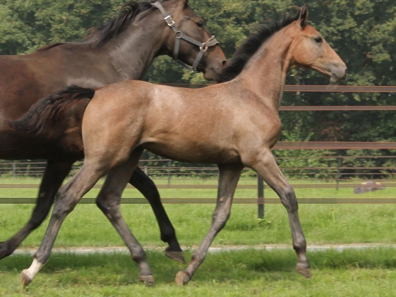 d'O Horses buys Chacoon Blue x Halfsister Itot du Château