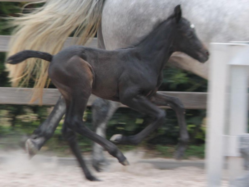 Pony foal with exeptional pedigree born and for sale - Cyklon Texas x Goliath x Dexter
