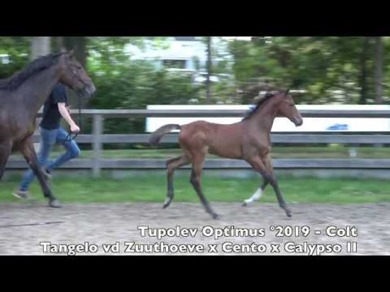 Horseman Auction - Tangelo  x Cento - Brother of Cristel M