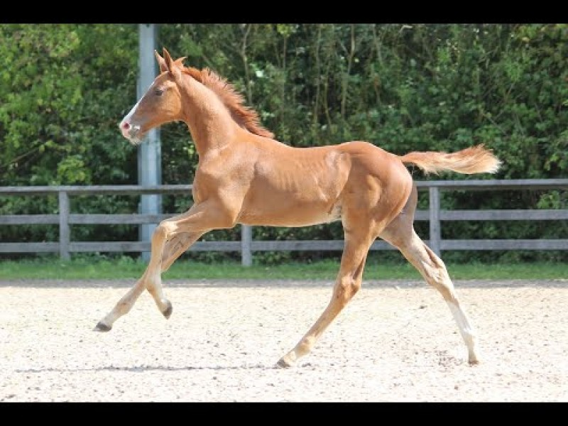 Foal Auction at CSI3* Bonheiden - Levisto Z x Pommeau du Heup (Full sister Obourg 1m60)
