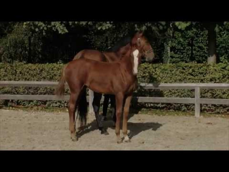 For sale - Filly - Damline Olympic Champion Jus de Pomme