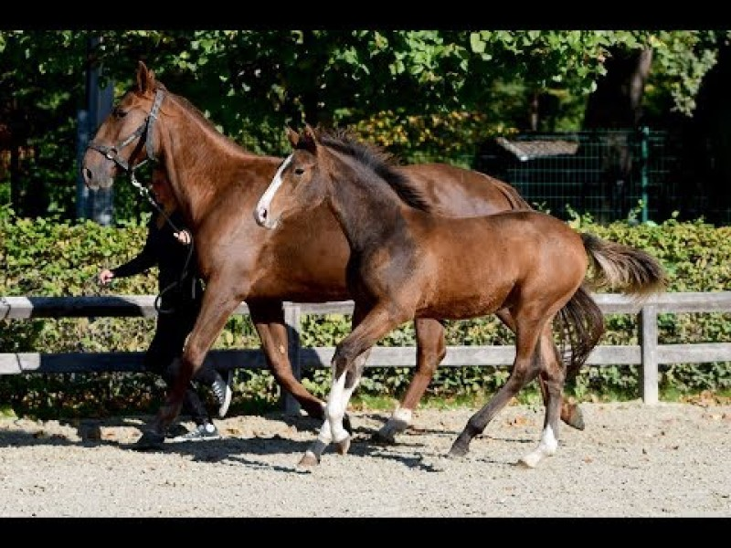 HippoChamp Auction 6-11-'18   Filly from the sister of SX Hidalgo VG