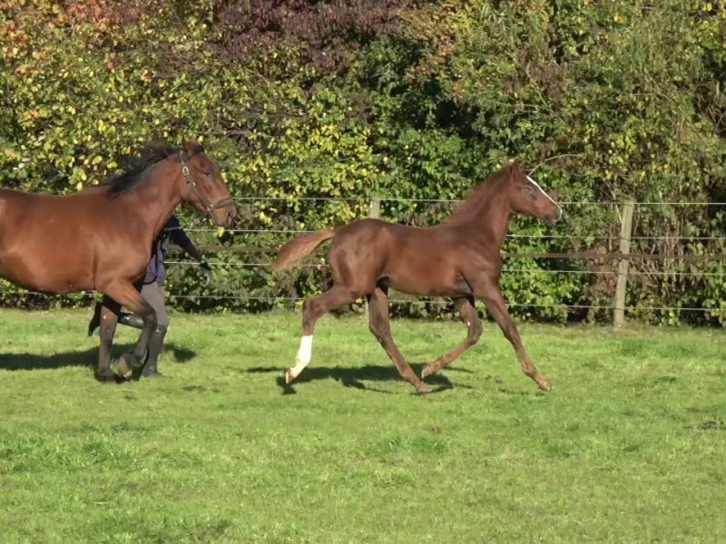 For Sale : Foal from the halfsister of Itot du Château