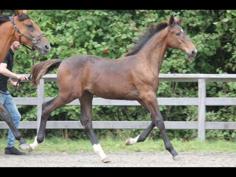 Foal Auction at CSI3* Bonheiden -Taifun Optimus- Ideal de la Loge x Peter Pan